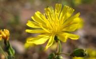 苦菜花花卉图片(8张)