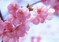 桃花图片(48张)