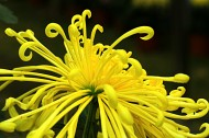 菊花图片(13张)