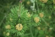 绿色松枝图片(6张)