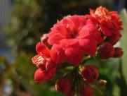 长寿花图片(8张)