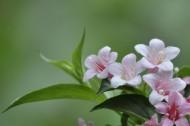 锦带花图片(12张)