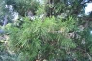 陆均松植物图片(2张)