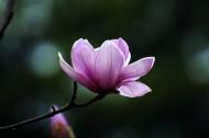紫色玉兰花图片(7张)