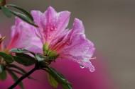 粉色和白色的杜鹃花图片(16张)