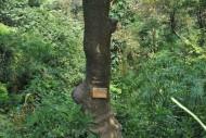 乌榄植物图片(2张)