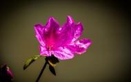 杜鹃花图片(12张)