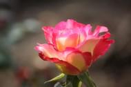 颜色丰富的月季花图片(28张)
