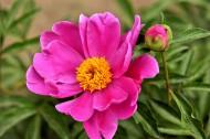粉色芍药花图片(12张)