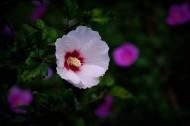 白色木槿花图片(12张)