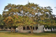 红花天料木图片(5张)
