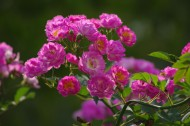 粉色蔷薇图片(7张)