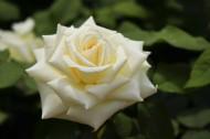 白色月季花图片(8张)
