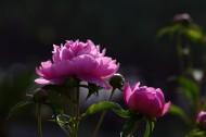 芍药花图片(10张)