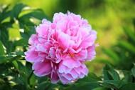 艳丽的芍药花图片(12张)