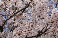 绽放的樱花图片(16张)