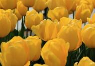鲜艳郁金香花卉图片(14张)