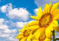 美丽向日葵图片(10张)