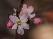 海棠花图片(10张)