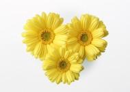 雏菊花朵图片(9张)