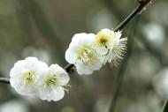 绿萼梅图片(12张)