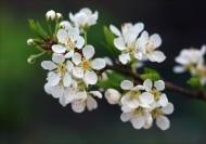 香气扑鼻的白梅花图片(12张)