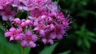 粉花绣线菊图片(14张)