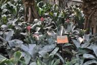 粉菠萝植物图片(1张)