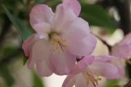 海棠花卉图片(12张)
