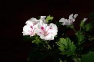天竺葵图片(10张)