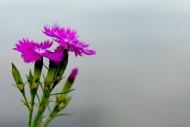 石竹花图片(10张)