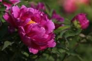 大观园的牡丹花图片(16张)