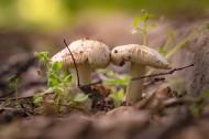 未采摘的蘑菇图片(13张)