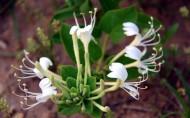 金银花图片(19张)