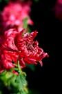 唯美的紫红色菊花图片(10张)