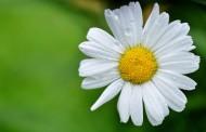 好看的雏菊图片(11张)