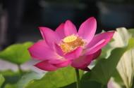 粉红色荷花图片(10张)