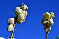 白色丝兰花图片(8张)