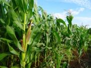 绿色的玉米农作物图片(12张)