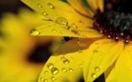 金黄色向日葵图片(7张)
