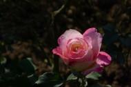 初冬的月季花图片(14张)