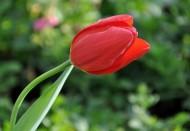 高雅郁金香花卉图片(10张)