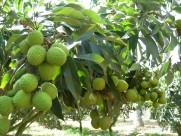 荔枝-树木图片(6张)