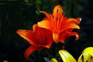 各种颜色的百合花图片(12张)