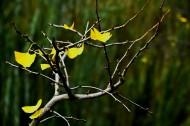 深秋银杏枝头图片(12张)