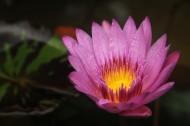 一朵清新脱俗的莲花图片(13张)