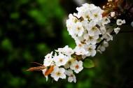 盛开的梨花图片(9张)