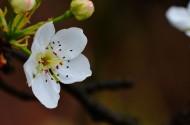 洁白如雪的梨花图片(9张)
