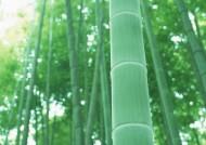 竹子图片(47张)