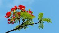 红色金凤花图片(15张)
